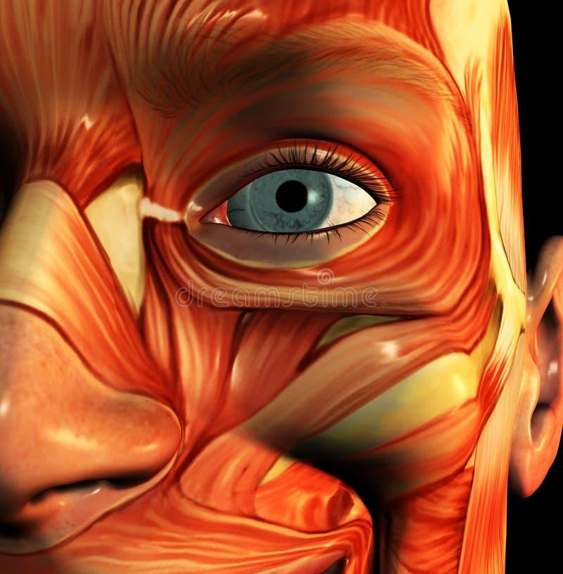Visage 5 de muscle illustration de vecteur