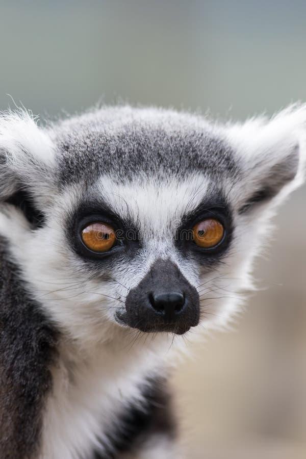 Visage aux yeux croisés Image animalière amusante de lémuriens aux yeux croisés photo stock