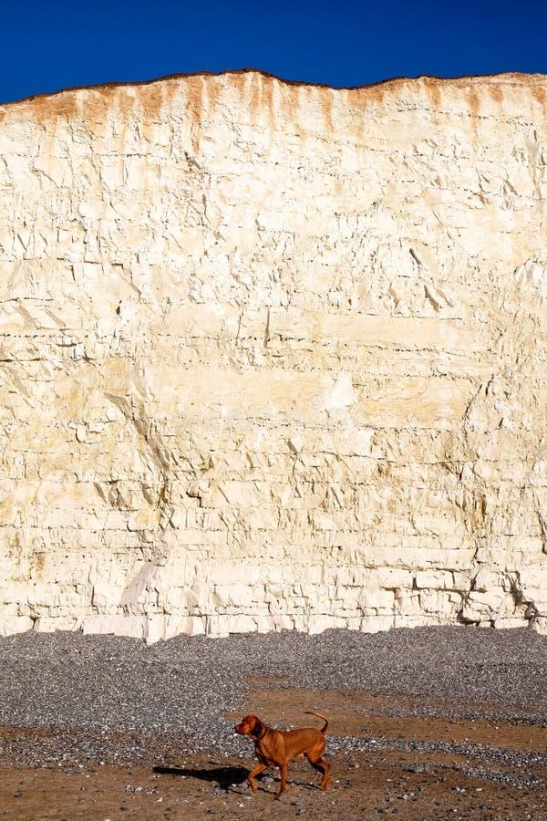 Visage blanc de falaise de craie avec Pebble Beach et chien marchant sur le beac image stock