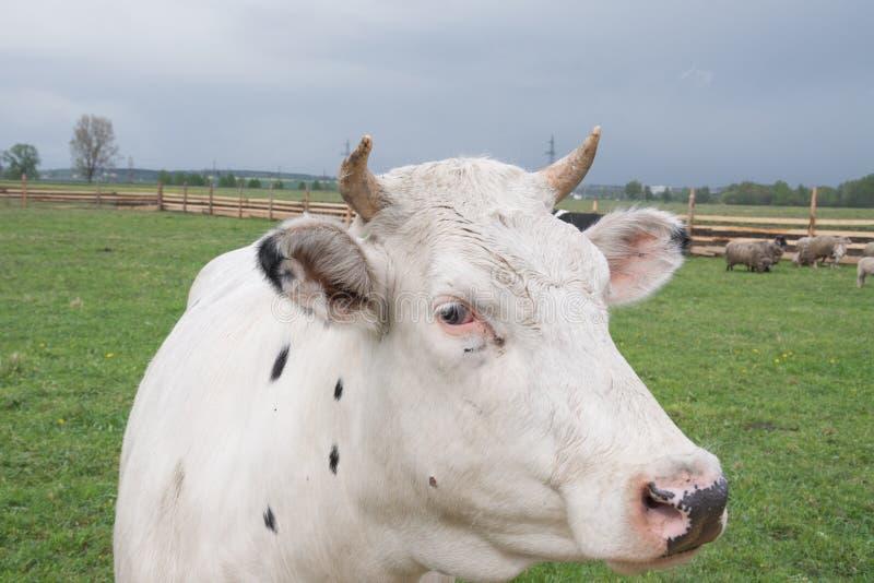Visage blanc de vache photographie stock