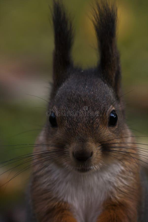 Visage d'écureuil images libres de droits