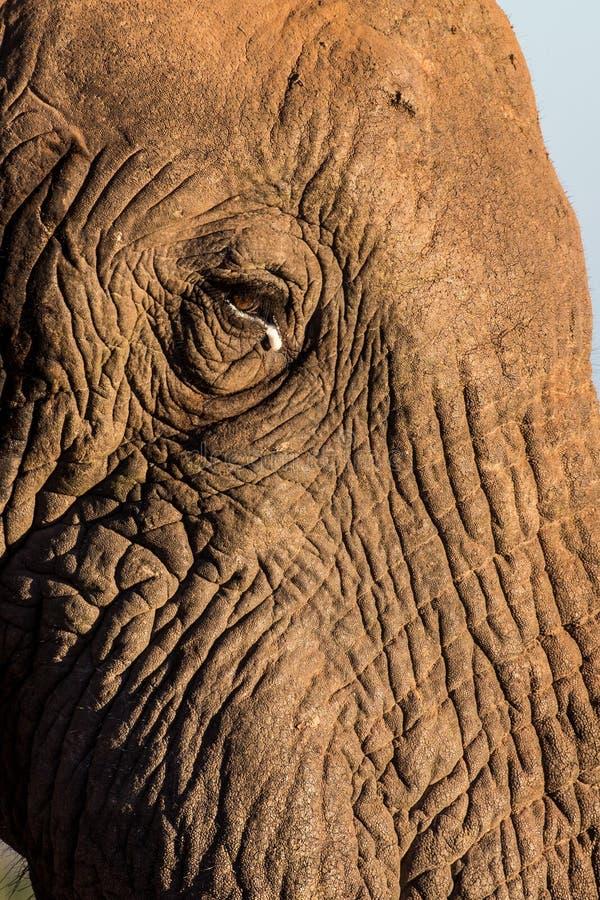 Visage d'éléphant africain photographie stock libre de droits