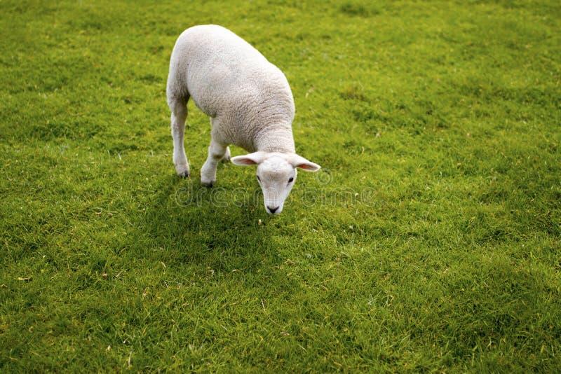 Visage d'agneau de bébé Pré debout animal mignon chez Yorkshire Sculptu photographie stock libre de droits