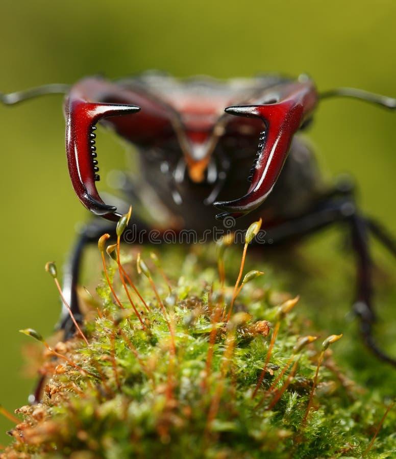 Visage d'en de scarab?e de m?le images stock