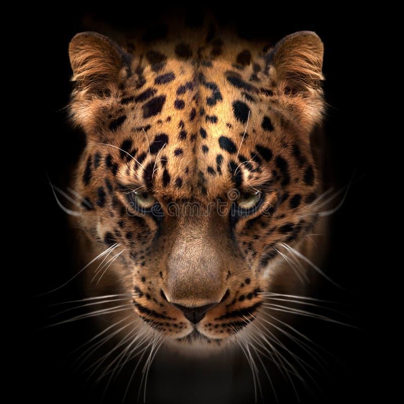 Visage d'Extrême-Orient de léopard d'isolement sur le noir photographie stock