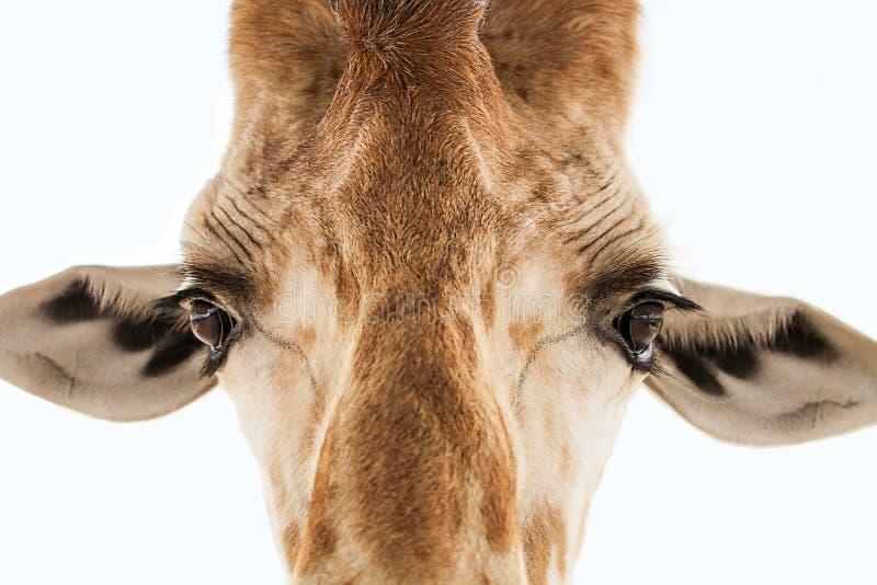 Visage d'isolement de girafe images libres de droits