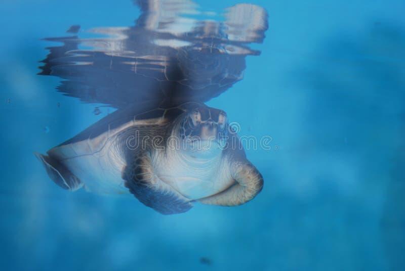 Visage d'une tortue de mer de bébé image libre de droits