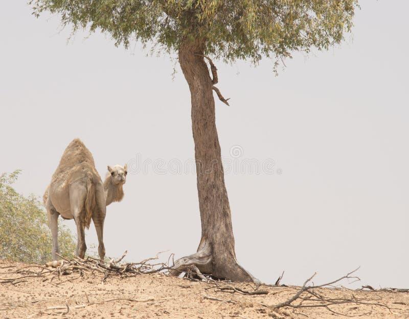 Visage de chameau images libres de droits