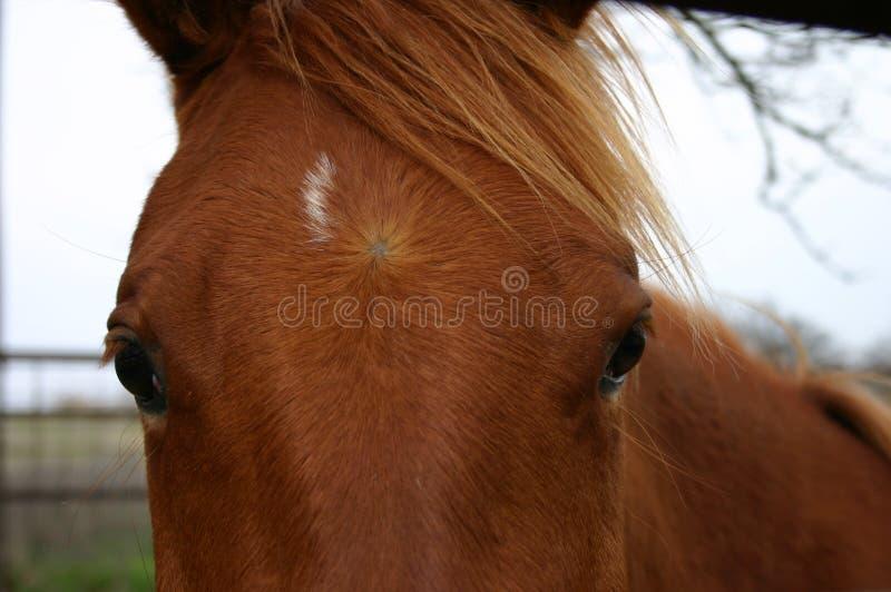 Visage de cheval images libres de droits