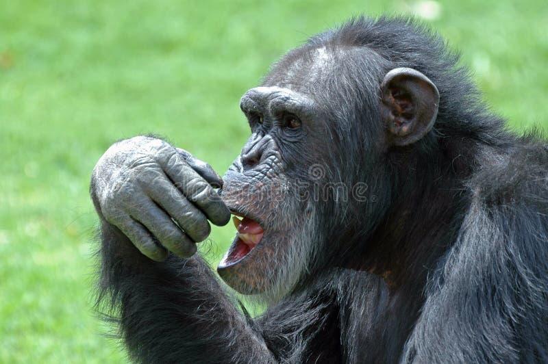 Visage de chimpanzé. photos stock