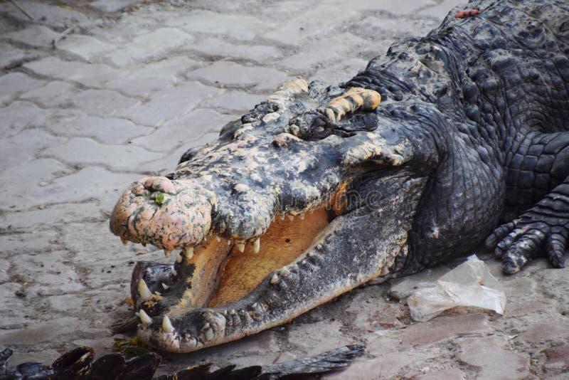 Visage de crocodile photographie stock libre de droits