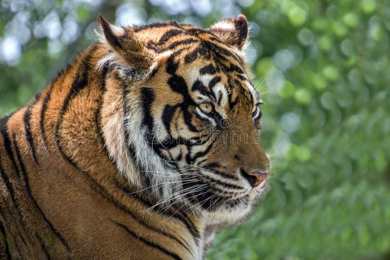Visage de fin de tigre d'Amur  Tigre sib?rien photo stock