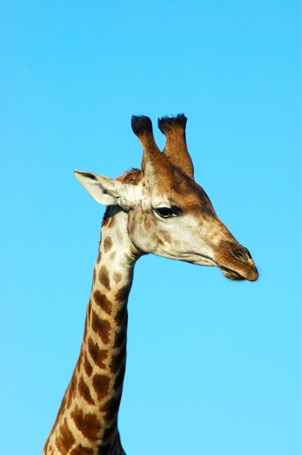 Visage de giraffe image libre de droits