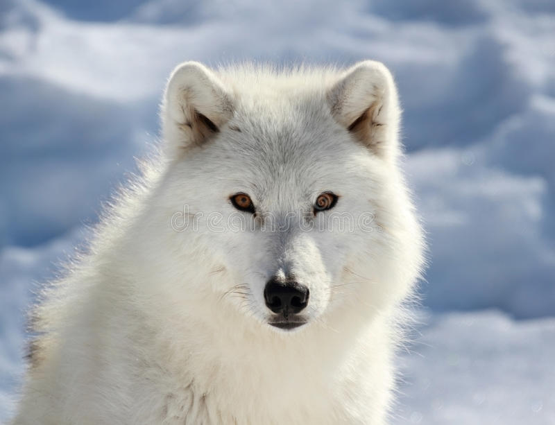 Visage de grand loup arctique images stock