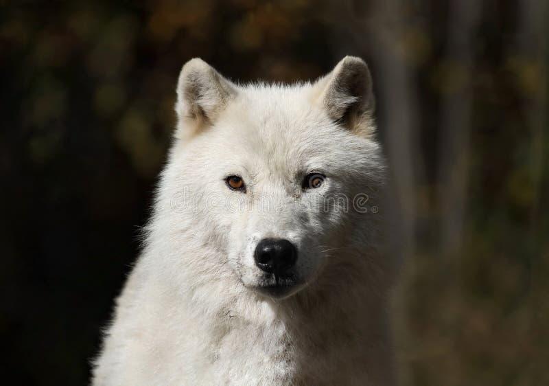 Visage de loup arctique photos libres de droits