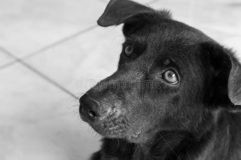 Visage de plan rapproché de chien recherchant quelque chose, couleur noire et blanche photo stock