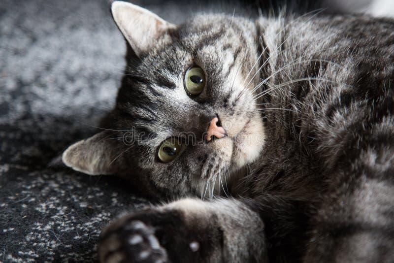 Visage de rêverie de plan rapproché tabulé par chat image stock