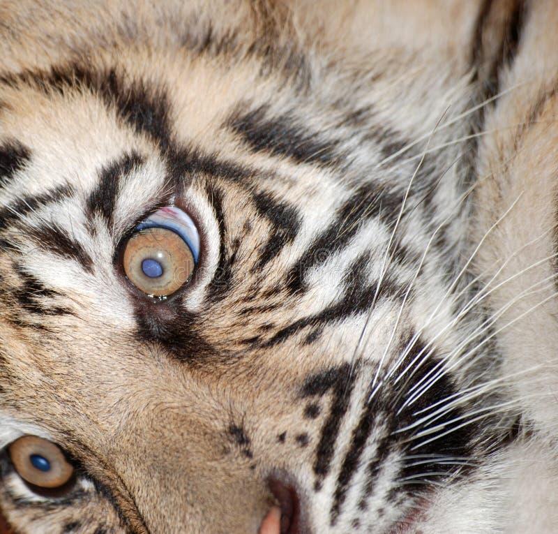 Visage de tigre photos stock