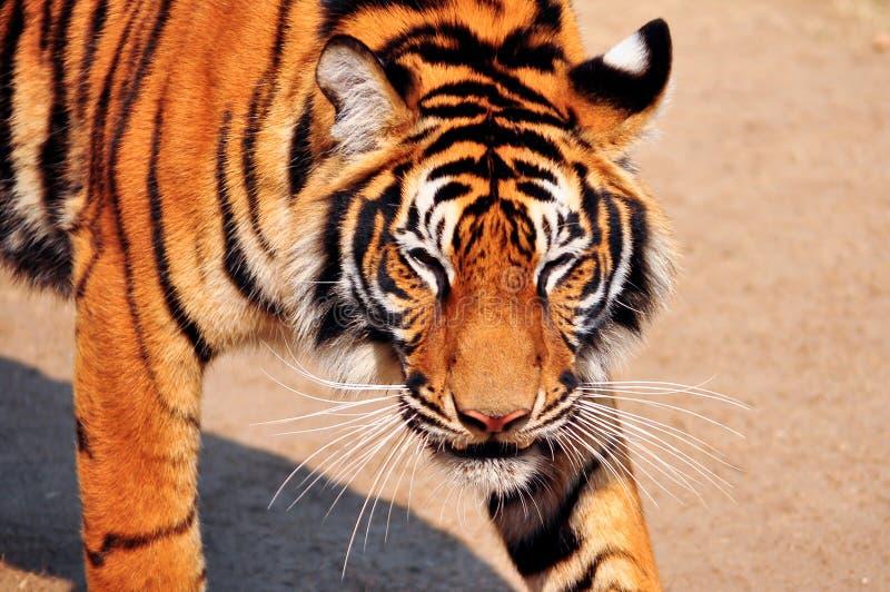 Visage de tigre de Bengale image libre de droits
