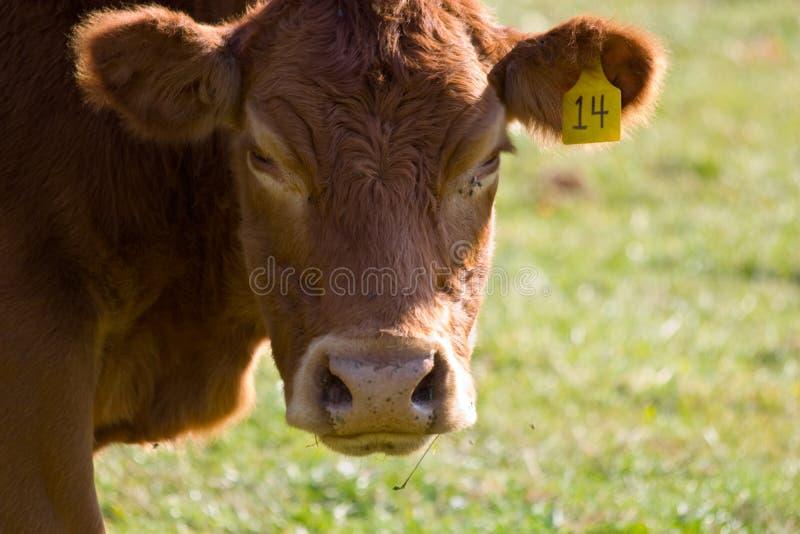 Visage de vache à Brown image libre de droits