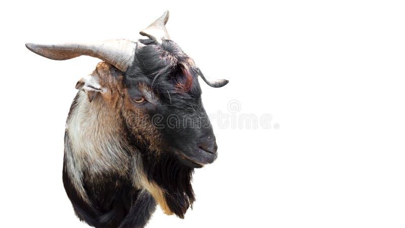Visage drôle de chèvre d'isolement sur le fond blanc avec le chemin de coupure, images libres de droits