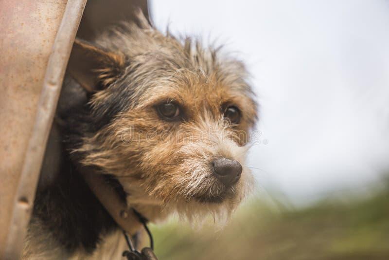 Visage drôle de chien posant à la caméra photo libre de droits