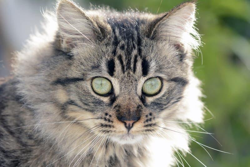 Visage du chat sibérien image stock