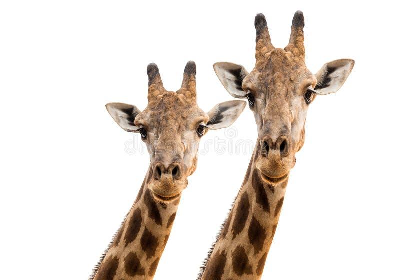 Visage et partie supérieure d'une girafe image libre de droits