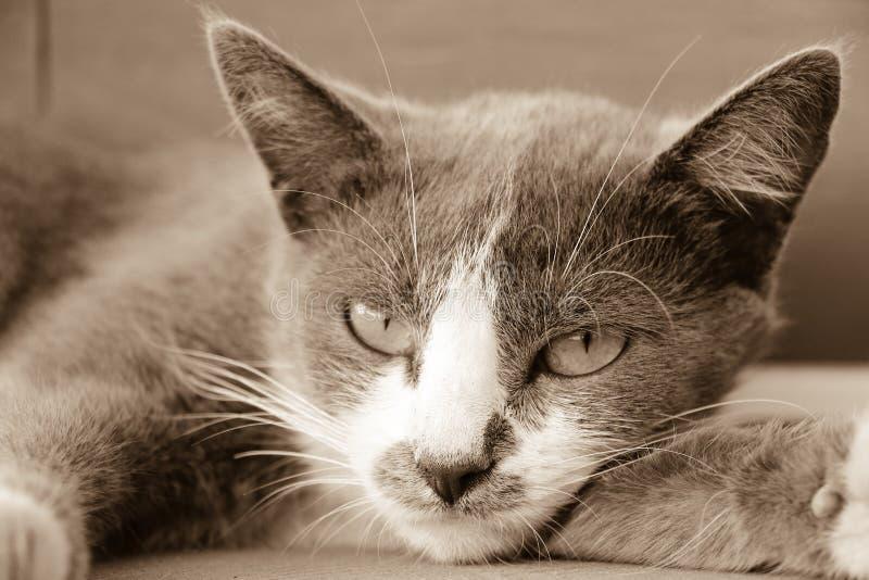 Visage gris de chat photo stock