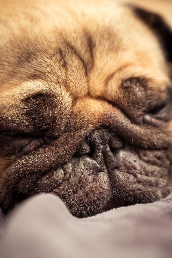 Visage haut étroit du repos mignon de sommeil de chien de roquet dans le sofa photos libres de droits