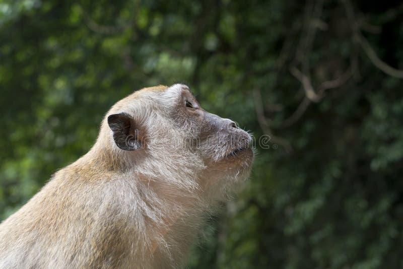 Visage latéral de singe de profil photos libres de droits