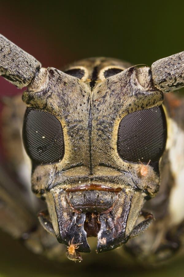 visage Long-à cornes de coléoptère photos libres de droits