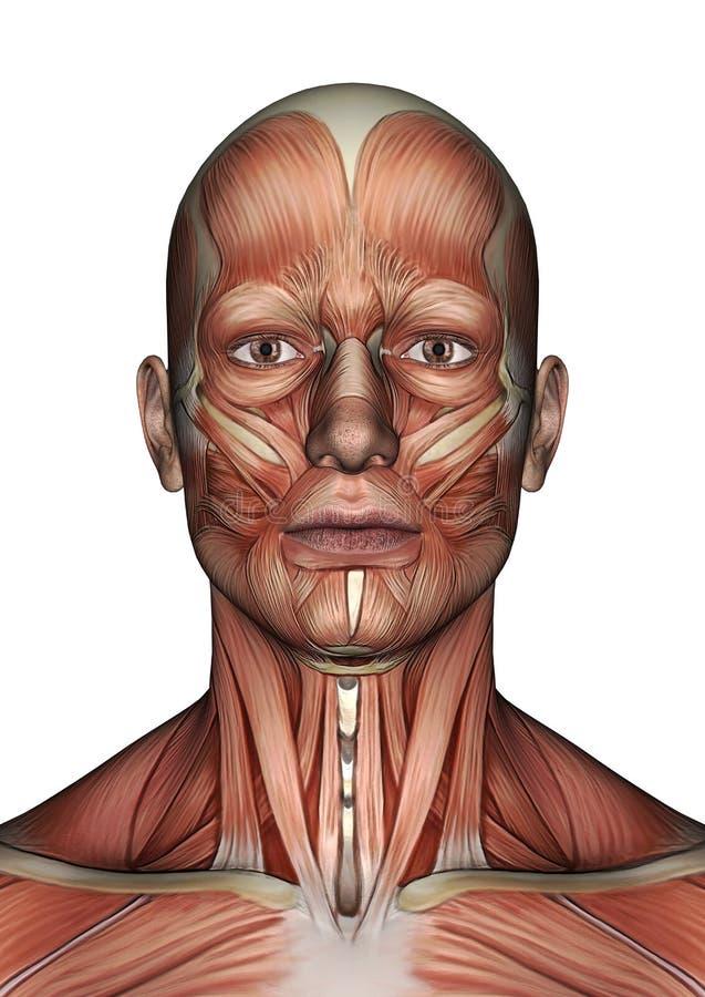Visage masculin d'anatomie illustration de vecteur