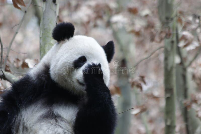 Visage pelucheux géant en gros plan du ` s de panda, Chine photographie stock