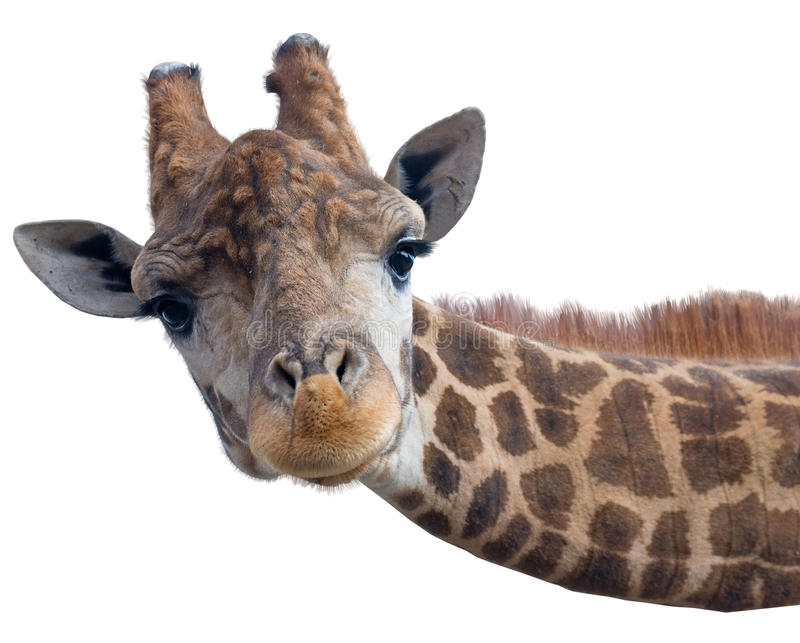 Visage principal de girafe photographie stock