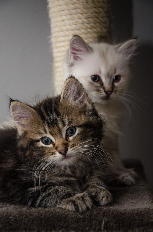 2 visages velus et 2 chatons pelucheux photo libre de droits