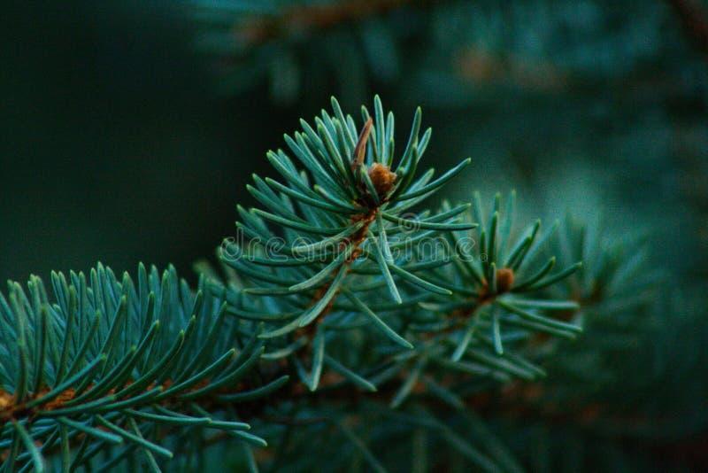 visare spruce royaltyfria foton