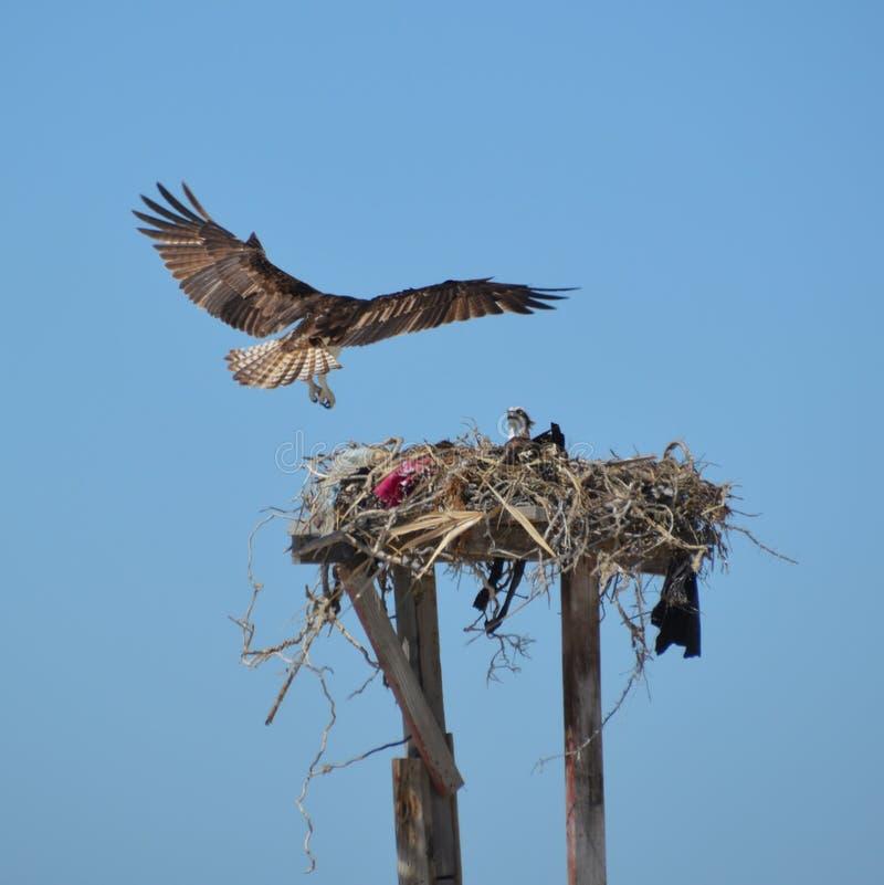 Visarend die in nest in Guerro-Zwarte in Baja Californië del Sur, Mexico landen stock foto