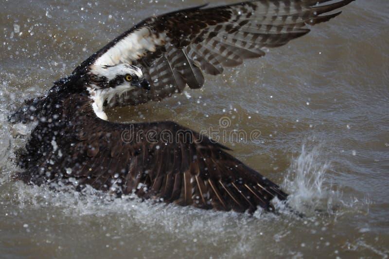 Visarend in het water die vissen vastmaken stock foto's