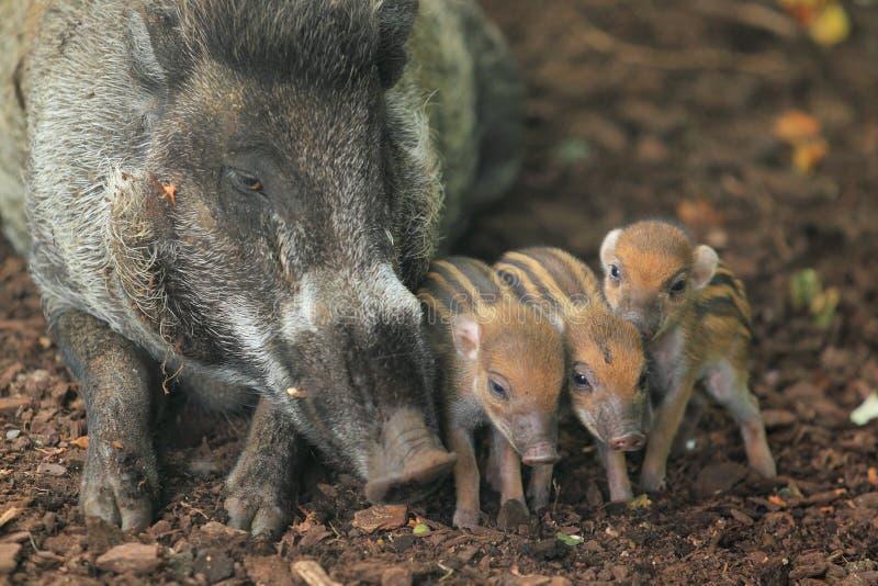 visayan свиньи warty стоковые фотографии rf