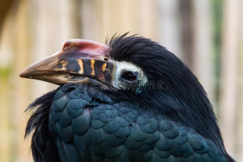 Visayan hornbill & x28;Penelopides panini& x29; head and bill. Bird found in tropical rainforests of the Philippines, in the family Bucerotidae, aka tarictic royalty free stock photo