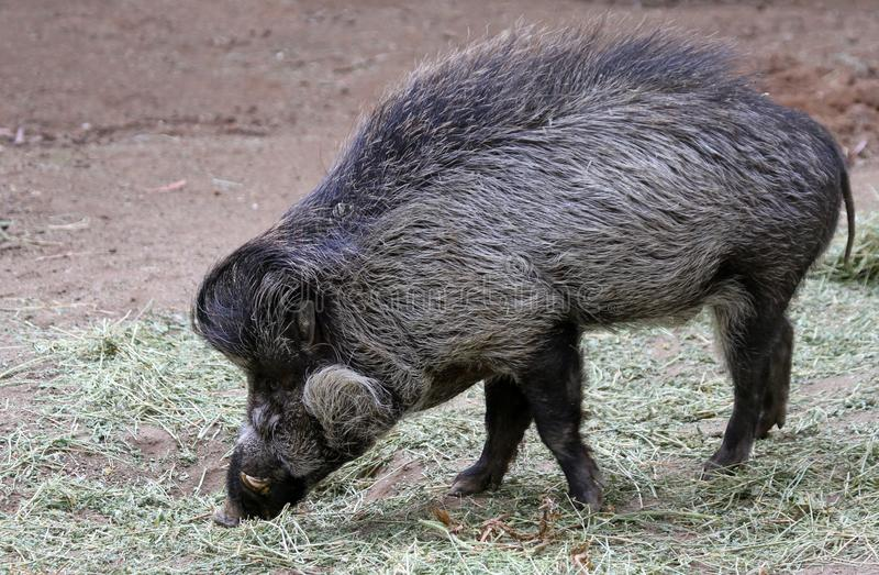 Download Visayan Warty Pig stock photo. Image of foraging, forage - 23265772