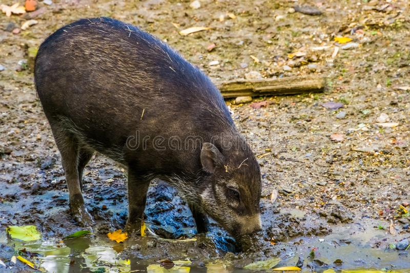 Visayan warty pig grubbing in the mud, typical wild boar behavior, critically endangered animal specie from the philippines. A visayan warty pig grubbing in the royalty free stock photos