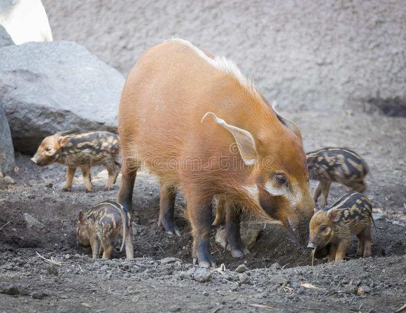 Download Visayan Warty Piglet With Mother Stock Image - Image of hogs, artiodactyla: 39507883