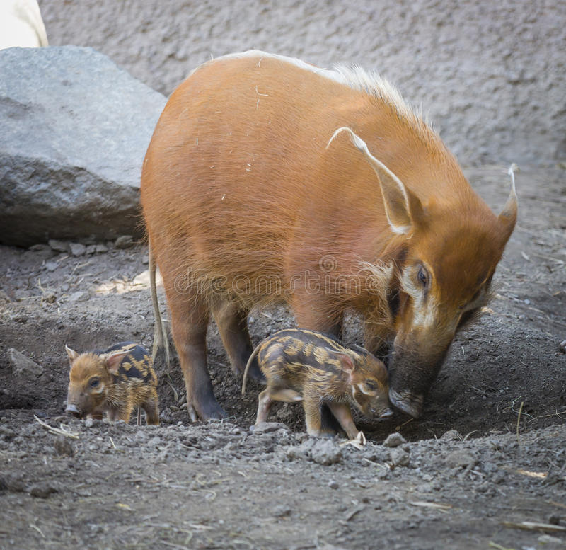 Download Visayan Warty Piglet With Mother Stock Photo - Image of cute, piglet: 39507900