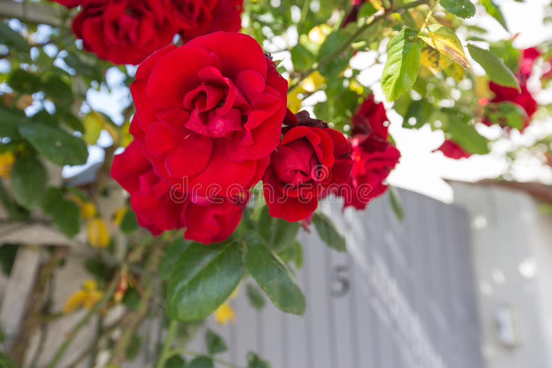 Visby roses royalty free stock photo