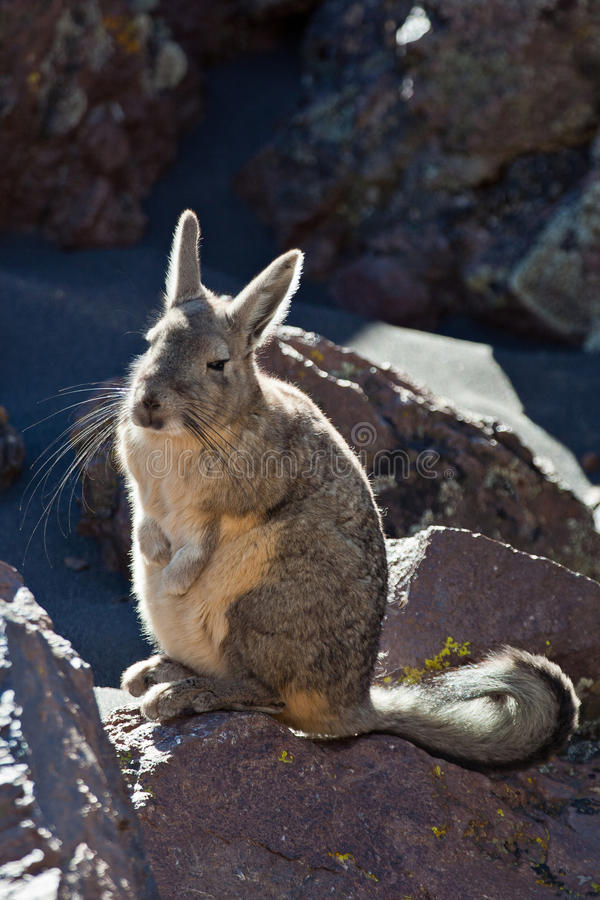 Viscacha stock image