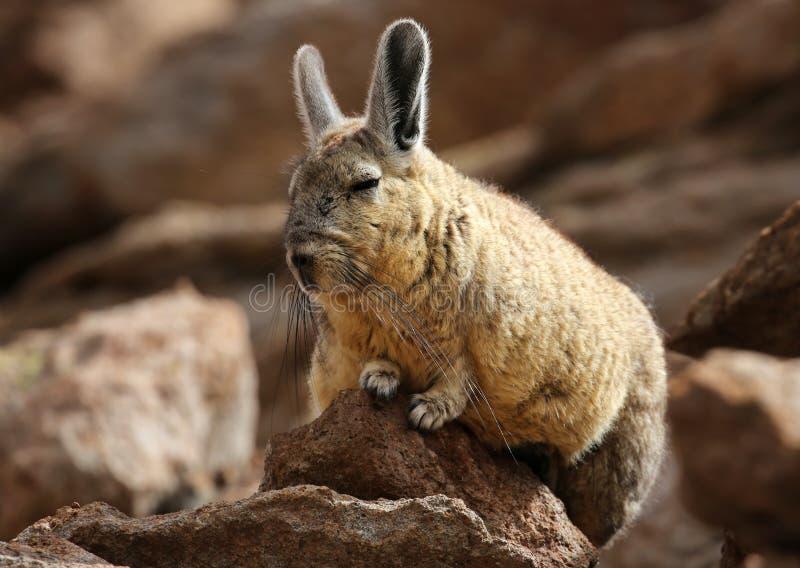 Viscacha do sul no deserto de Siloli & no x28; bolivia& x29; fotos de stock royalty free