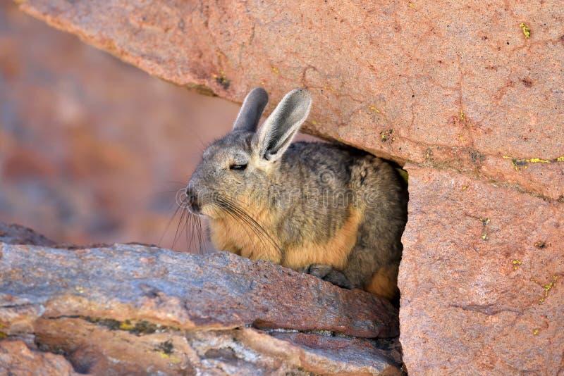 Viscachas ou vizcachas fotos de stock