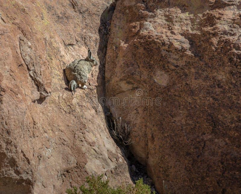 Viscacia de Lagidium de Viscacha ou de vizcacha en vallée de roche d'altiplano de Bolivean - département de Potosi, Bolivie photos stock